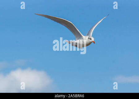 Mediterranean Gull Ichthyaetus melanocephalus flying right in blue sky, Norfolk, UK - Stock Photo