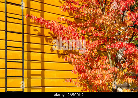 Sargent's Cherry (Prunus sargentii) tree in bright red autumn colors against yellow cottage wall - Stock Photo