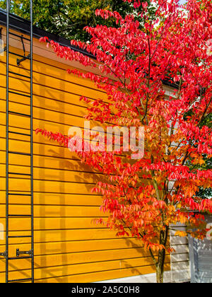 Bright red autumn colored Sargent's Cherry (Prunus sargentii) tree against yellow cottage wall - Portrait - Stock Photo
