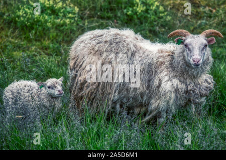 Portrait of typical icelandic sheeps, mother with lamb, summer - Stock Photo