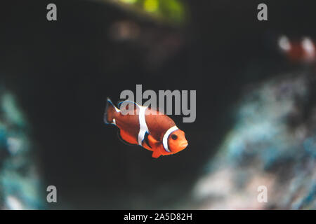 Nemo fish or clown fishswimming around aquarium tank. Fish with red and white strip