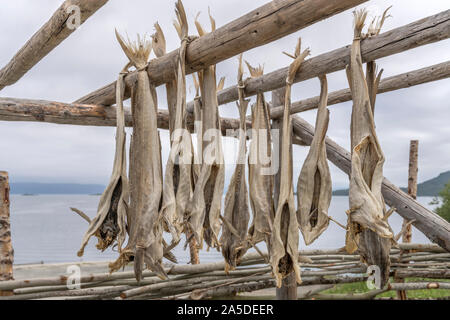 detail of stack of stockfish pieces drying on traditional wooden rack, shot under bright cloudy light at Harstad, Hinnoya, Vesteralen, Norway - Stock Photo