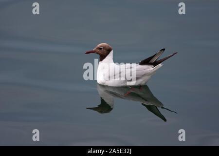 Black-headed Gull, Larus ridibundus,  Single adult resting on sea showing reflection,  Northumberland, UK. - Stock Photo