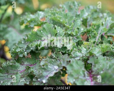German kale variety called 'Altmärker Braunkohl' growing in a garden.