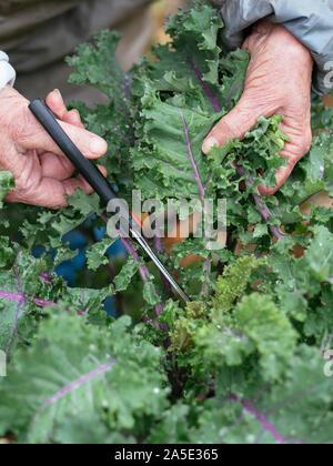 Gardener harvesting leaves of a German kale variety called 'Altmärker Braunkohl'.