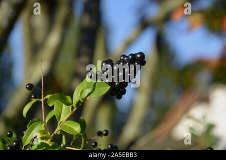 european privet berries in autumn, black blue and glossy berries on a bush of the wild Privet or Ligustrum vulgare in autumn sun - Stock Photo