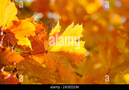 Colorful autumn maple leaves on fall colored background - Stock Photo