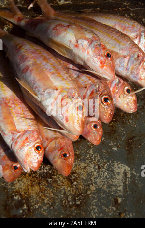 Fresh Red Mullet, Mullus surmuletus, caught in the English Channel. The fish are sometimes referred to as striped red mullet and are highly prized as - Stock Photo