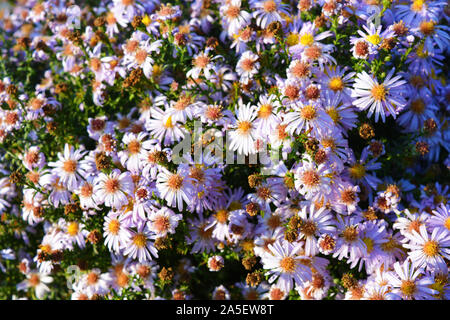 Delicate autumn Ukrainian undersized flowers that always bloom in September. Bright and colorful bush with large purple flowers, Symphyotrichum novi-b - Stock Photo