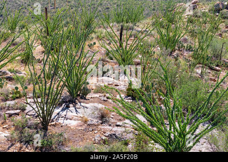 Octotillo scattered across the desert, Tucson, Arizona - Stock Photo