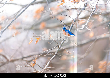Rainbow flare and one blue male bluebird bird perched on oak tree during winter spring autumn in Virginia with vibrant color - Stock Photo