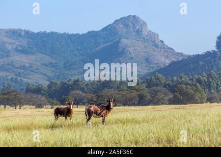 Two Blesbuck in Mlilwane wildlife sanctuary scenery , Swaziland ; specie Damaliscus pygargus phillipsi family of bovidae - Stock Photo