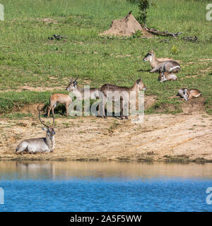 Common Waterbuck small group on lake side in Kruger National park, South Africa ; Specie Kobus ellipsiprymnus family of Bovidae - Stock Photo