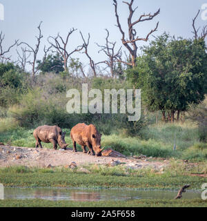 Two Southern white rhinoceros walking in Hlane royal National park scenery, Swaziland ; Specie Ceratotherium simum simum family of Rhinocerotidae - Stock Photo