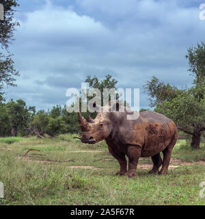 Southern white rhinoceros in green savannah in Hlane royal National park, Swaziland ; Specie Ceratotherium simum simum family of Rhinocerotidae - Stock Photo