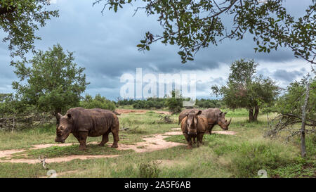 Three Southern white rhinoceros in green savannah in Hlane royal National park, Swaziland ; Specie Ceratotherium simum simum family of Rhinocerotidae - Stock Photo