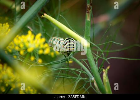 A portrait of the caterpillar of a koninginnenpage butterfly on a green branch between some yellow flowers.
