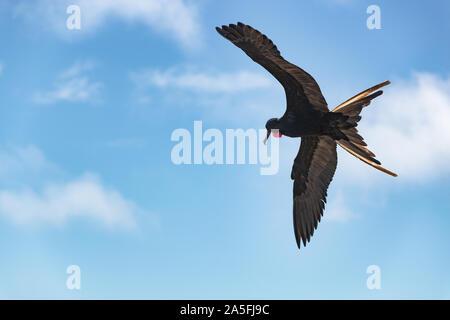 Frigatebird on Galapagos islands flying. Magnificent Frigate-bird in flight on North Seymour Island, Galapagos. One male frigate birds with red neck gular pouch (thoat sac). - Stock Photo