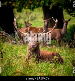 Red Deer Stag and hinds, Studley Royal Park, North Yorkshire, UK. - Stock Photo