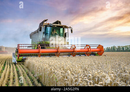 Combine harvester harvests ripe wheat. Ripe ears of gold field on the sunset cloudy orange sky background. . Concept of a rich harvest. Agriculture - Stock Photo