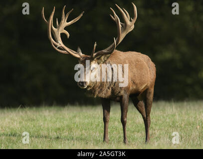 A magnificent Red Deer Stag, Cervus elaphus, standing in a field during rutting season. - Stock Photo