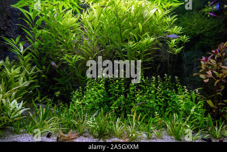 The view of freshwater aquarium with tropical fish and water plants - Stock Photo