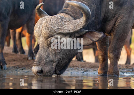 Close-up of a buffalo drinking from a water hole in Zimanga private game reserve - Stock Photo