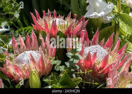 King protea or  protea cynaroides the national flower of South Africa - Stock Photo