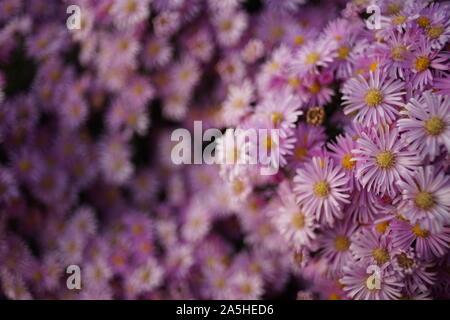 Purple chrysanthemum flowers bush. Natural floral background. - Stock Photo