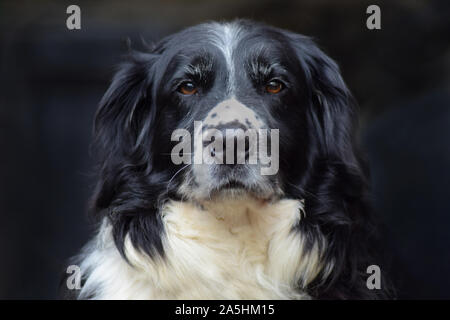 centrally framed head shot of collie cross spaniel dog looking at the camera with brown eyes and a blurry background - Stock Photo