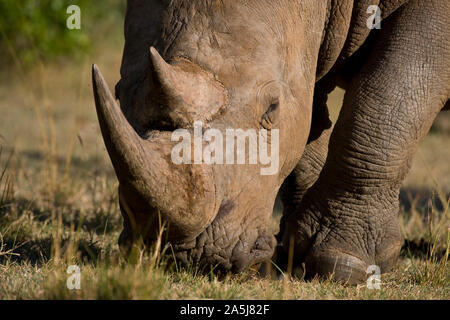 White Rhinoceros in close up grazing in the Maasai Mara National Park, Kenya - Stock Photo