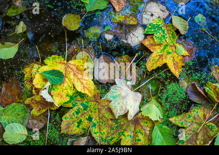 Fallen colorful autumn leaves on forest lake covered with duckweed. Blue sky reflected in water. Versy calm and contrast abstract image - Stock Photo