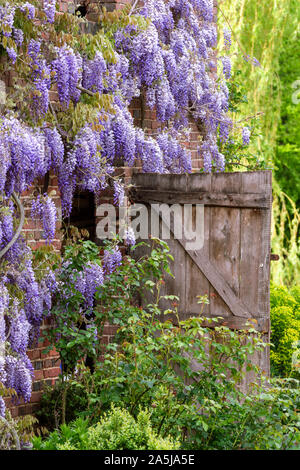 Wisteria blooming on a French farm house - Stock Photo