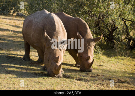 White Rhinoceros walking and grazing in the Maasai Mara National Park, Kenya - Stock Photo