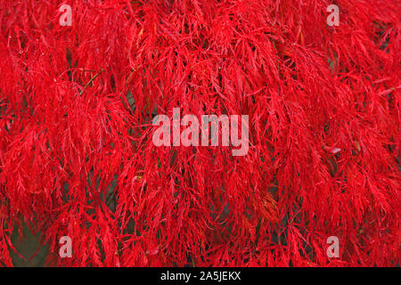 Acer palmatum (laceleaf Japanese Maple) tree in fiery red autumn colour - Stock Photo