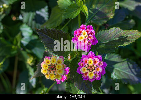 Lantana camara, Umbelanterna Flowers - Stock Photo