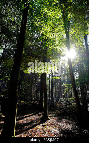 beech trees and conifers in woodland setting, marsham woods, norfolk, england - Stock Photo
