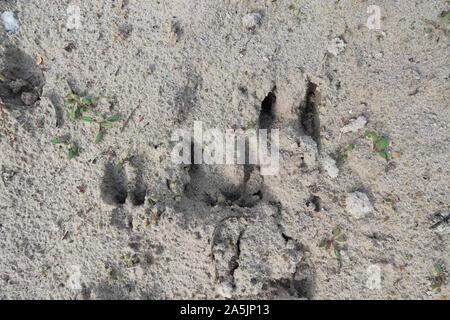 Roe deer (Capreolus capreolus), track in sand, Netherlands. - Stock Photo