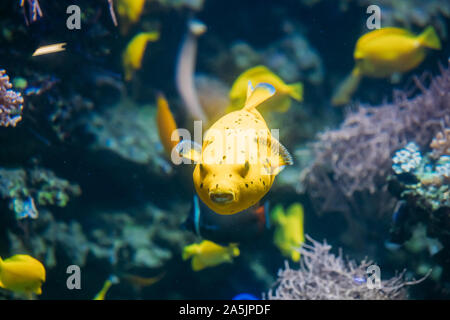 Yellow Blackspotted Puffer Or Dog-faced Puffer Fish Arothron Nigropunctatus Swimming In Water. If Not Prepared Properly, Toxin Found In Pufferfish - T - Stock Photo