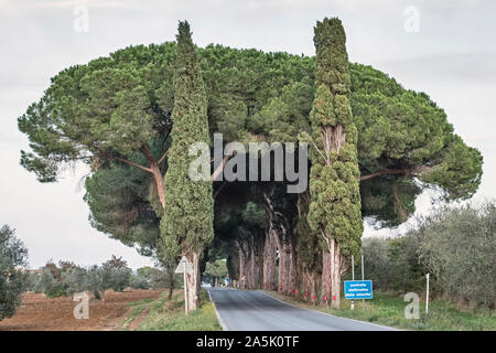 Umbrella pines (also stone pines, pinus pinea) and cypresses shade a country road in southern Tuscany - Stock Photo