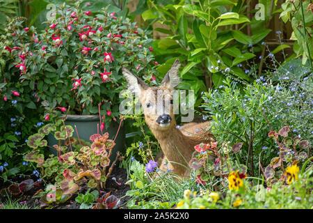 Deer in Garden - Stock Photo