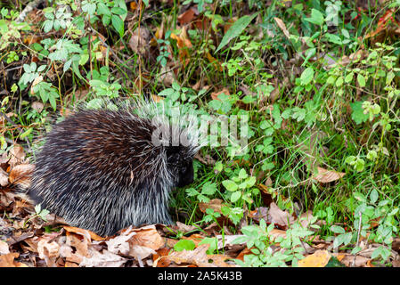 A small north American porcupine sitting in leaves and wild plants in Warren County, Pennsylvania, USA in fall - Stock Photo