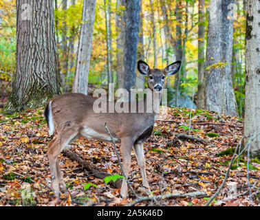 A young button buck white tail deer in the fall woods in Warren County, Pennsylvania, USA on a fall day - Stock Photo