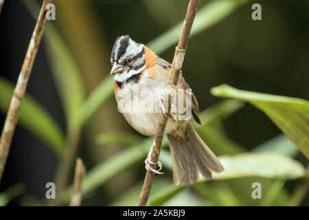 Closeup of Rufous-collared Sparrow ( Zonotrichia capensis) perching on a leafy branch in NW Ecuador.Bird is common from Mexico to Tierra Del Fuego - Stock Photo