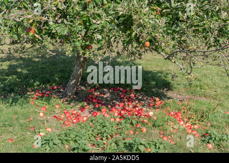 A group of fallen ripe red apples lying on the ground below an apple tree in an orchard - Stock Photo