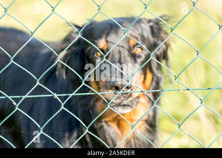A watchdog behind a chain link fence, Germany, Europe, - Stock Photo