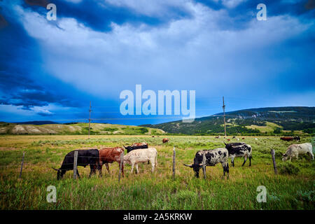 Longhorn Steers grazing in a field with stormy sky. - Stock Photo