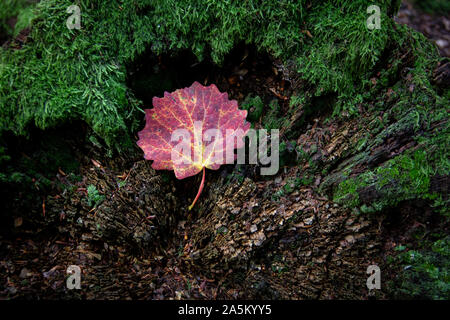 A red fallen leaf has landed on an old stump partially covered in soft, green moss. - Stock Photo