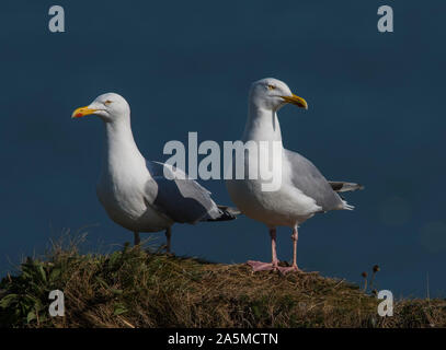 Pair of Herring Gulls (Larus argentatus) on guard duty at Bempton Cliffs, East Yorkshire, England. - Stock Photo