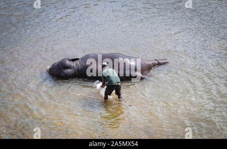Pinnawala/ Sri Lanka: AUGUST 03- 2019: The Unspecific man taking bath with his elephant at a river near the village of Pinnawala. Here is a nursery an - Stock Photo